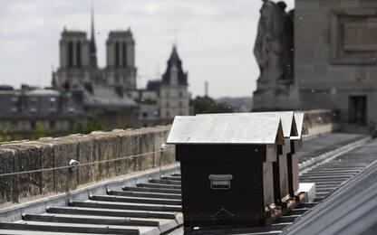 Notre Dame, salve le api che vivono nelle arnie sul tetto della chiesa