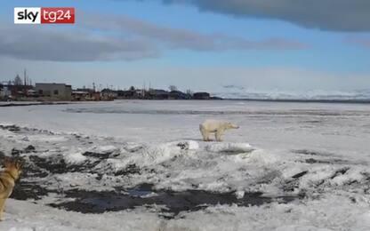 Russia, orso polare viaggia su lastra di ghiaccio per 700 km. VIDEO