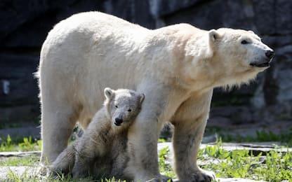 L'orsa Tonja festeggia la festa della mamma con Hertha. FOTO