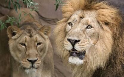 "Sudafrica, 14 leoni in fuga dal Parco Kruger: ""Allerta massima"""