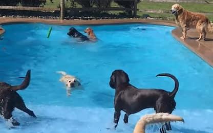 Il labrador Berkley festeggia il compleanno in piscina. VIDEO