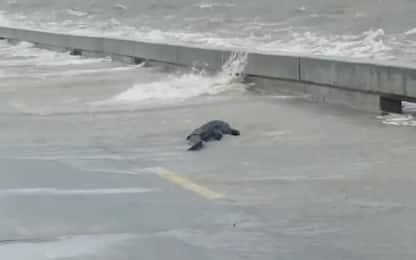 Mississippi, un alligatore a bordo strada dopo la tempesta. VIDEO