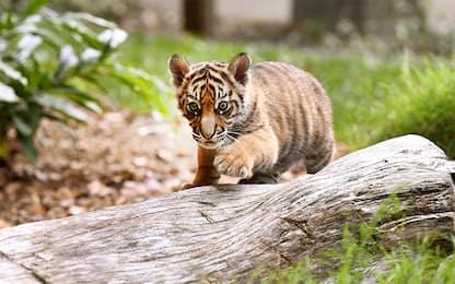 Francia, comprano online gatto Savannah e ricevono tigre di Sumatra