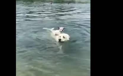 Usa, chihuahua cavalca cane più grande. VIDEO