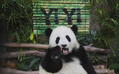 """Malesia, il cucciolo di panda Yi Yi: """"amicizia"""" in cinese"""