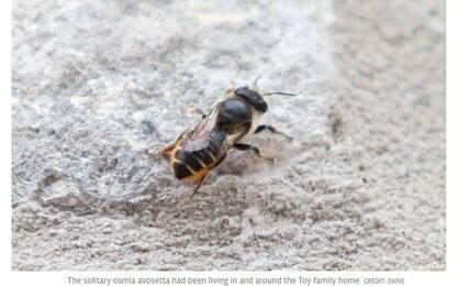 L'ape turca arriva in valigia, è allarme in Gb