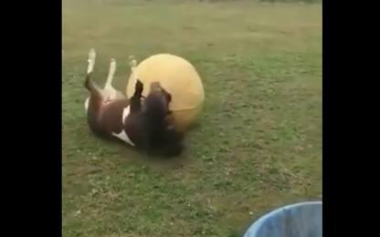 """Pony fa magie con la palla, la proprietaria: """"Come Beckham"""". VIDEO"""