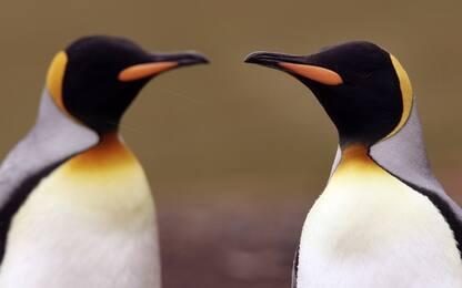 Mappato il Dna di tutte le specie di pinguini viventi
