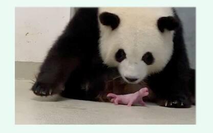 Due cuccioli di panda sono nati allo zoo di Berlino. LE FOTO