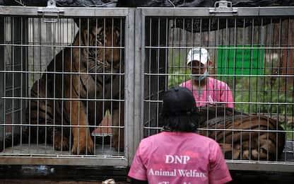 Thailandia, morte 86 tigri sequestrate da un Tempio. Il video