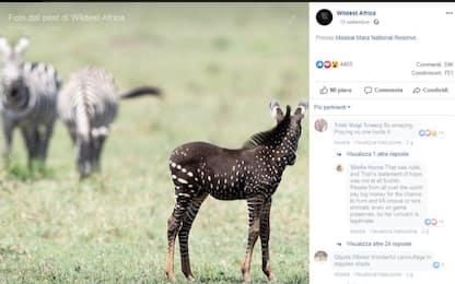 Zebra a pois, avvistato un esemplare in Kenya