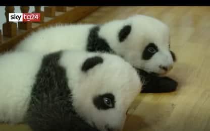 Cina, i cuccioli gemelli di panda più grossi del mondo. VIDEO