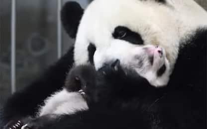 Cina, il panda riempie di coccole il suo cucciolo. VIDEO