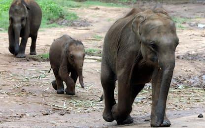 Sri Lanka, centro si prende cura degli elefantini orfani