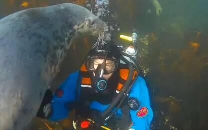 Inghilterra, la foca stacca l'ossigeno al sub. VIDEO