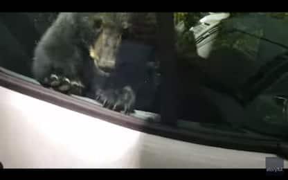 Sorpresa nel furgone: i cuccioli di orso si sono chiusi dentro. VIDEO