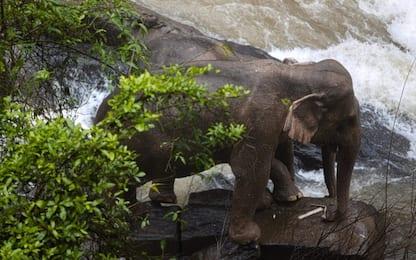 Thailandia, 11 elefanti morti per salvare un cucciolo