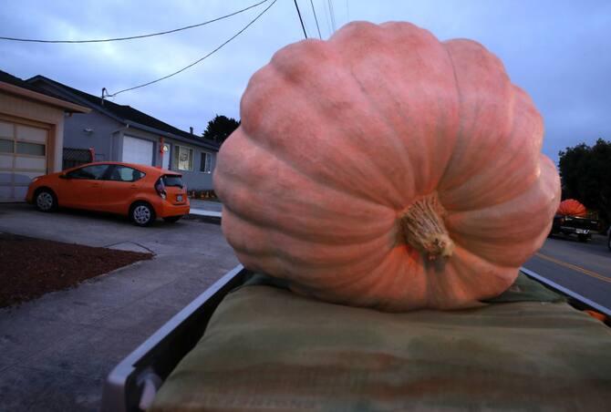 Zucca Di Halloween Piu Grande Del Mondo.California Va In Scena Il Campionato Delle Zucche Giganti Foto Sky Tg24