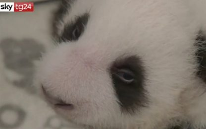 Zoo di Berlino, cuccioli di panda gigante aprono gli occhi. VIDEO