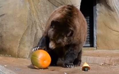 Halloween, gli animali dello zoo giocano con le zucche. VIDEO