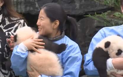 Due gemelli di panda gigante sono nati allo zoo in Belgio. VIDEO