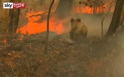 Incendi in Australia, koala ustionato salvato tra le fiamme. VIDEO