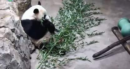 Cucciolo di panda parte per la Cina. VIDEO