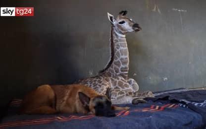 Sudafrica, la baby giraffa e il cane sono migliori amici. VIDEO