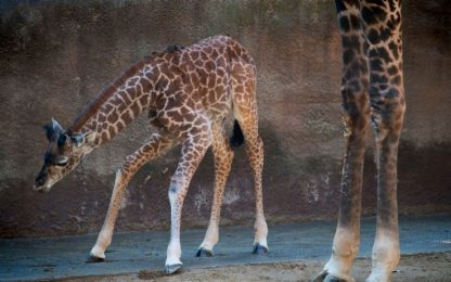 La baby giraffa nata allo zoo di Cincinnati. VIDEO