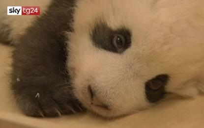 Il cucciolo di panda dello zoo di Berlino ha il singhiozzo. VIDEO