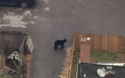Avvistato orso che corre tra le case del Delaware. VIDEO