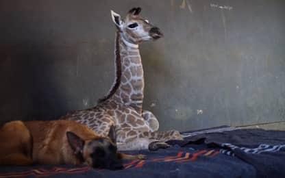 È morta la giraffa diventata famosa per l'amicizia con il cane Hunter