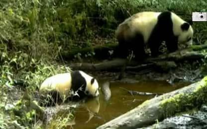 Mamma panda e il suo cucciolo si dissetano in un ruscello. VIDEO