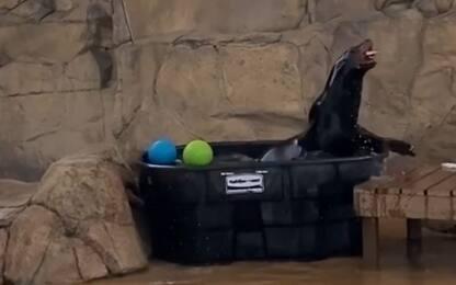 Usa, festa in piscina per i leoni marini dello zoo di Denver. VIDEO