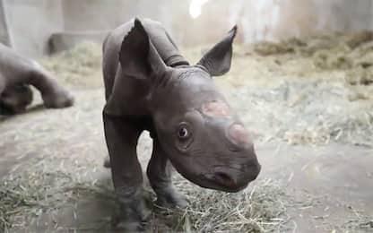 Michigan, allo zoo di Lansing nasce un baby rinoceronte nero. VIDEO