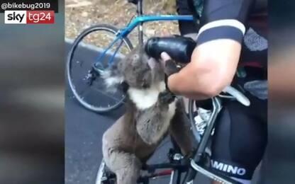 Caldo in Australia, koala beve dalla borraccia della ciclista. VIDEO