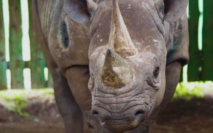 Tanzania, morto rinoceronte più vecchio del mondo. FOTO