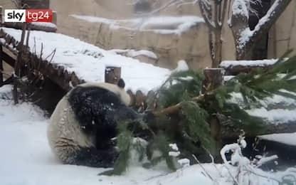Panda si arrampica sull'albero di Natale: finale a sorpresa. VIDEO