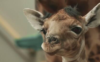 Belgio, allo zoo di Malines nasce la prima giraffa del 2020. VIDEO