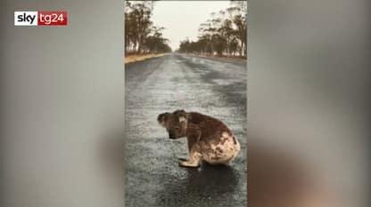 Australia, koala beve da una pozzanghera. VIDEO