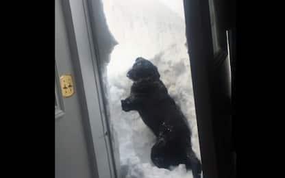 Il cane cerca di uscire di casa con 70 cm di neve. VIDEO