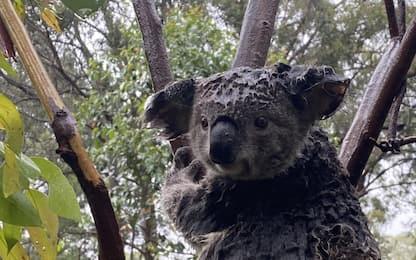 Incendi e alluvioni in Australia, a rischio i koala. FOTO