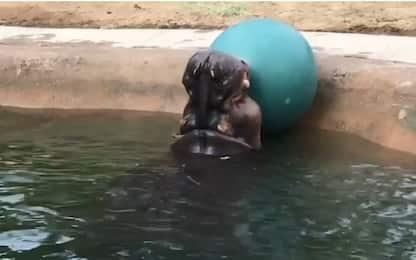 Zoo di Denver, l'ippopotamo si diverte giocando a palla VIDEO