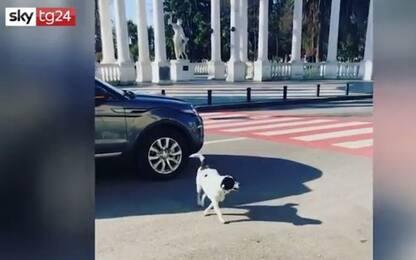 Georgia, cane-vigile ferma le auto e fa attraversare i bambini. VIDEO