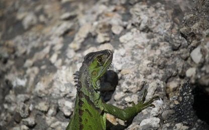 Usa, la Florida vieta vendita e possesso dell'iguana verde: è invasiva