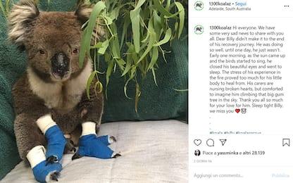 Australia, è morto Billy: era il koala simbolo degli incendi