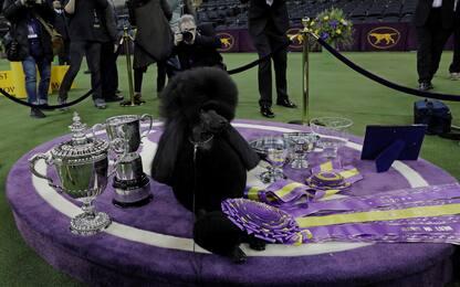 Dog Show: a New York vince Siba, il barbone nero. FOTO