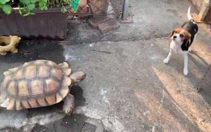 Taiwan, una tartaruga insegue e mette in fuga un cane Beagle. VIDEO