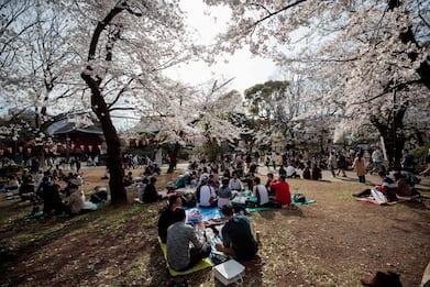 Giappone, lo spettacolo dei ciliegi in fiore