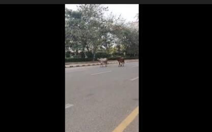 Coronavirus India, città deserte: mucche passeggiano in strada. VIDEO